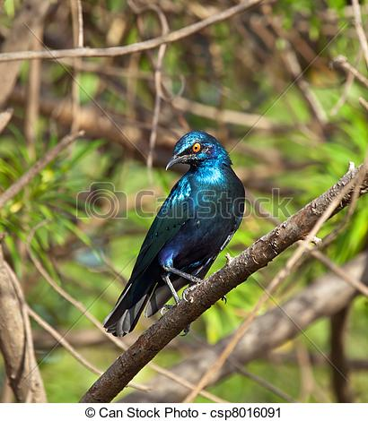 Stock Photography of Lesser Blue.