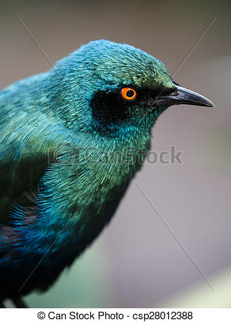 Pictures of Glossy Starling Bird with staring yellow eyes and.
