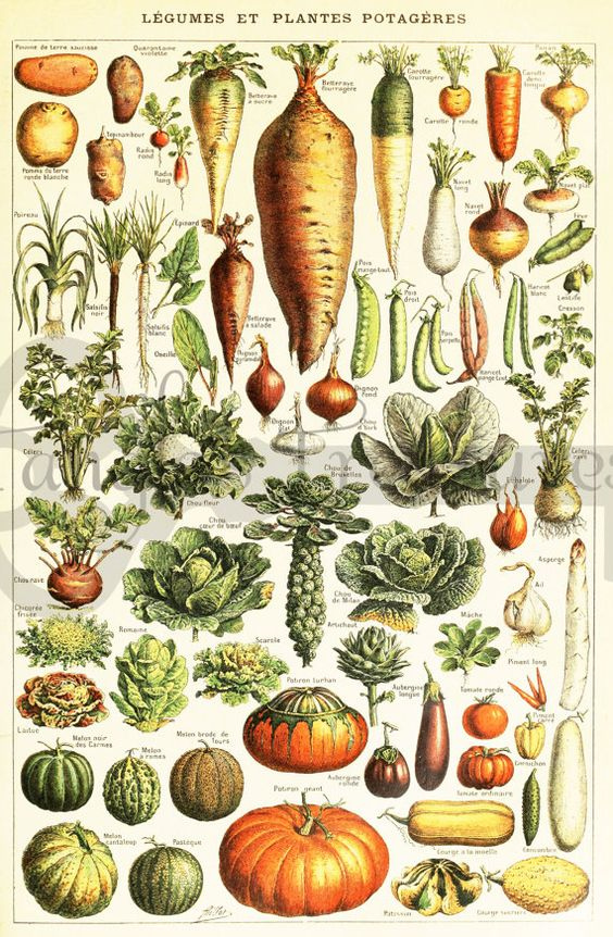 Vintage French Vegetables encyclopedia Clipart: High Resolution.