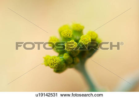 Stock Photography of Gnaphalium affine u19142531.