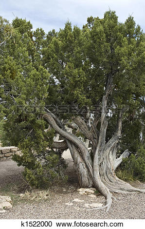 Stock Photography of Gnarly tree k1522000.