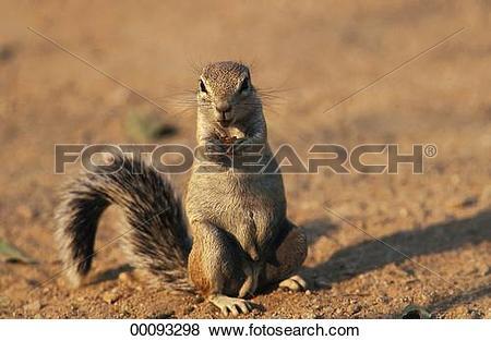Pictures of Juniors, Lariscus, animal, animals, feet, foot, gnawer.