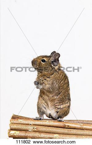 Stock Photo of gnawer, degu 111802.