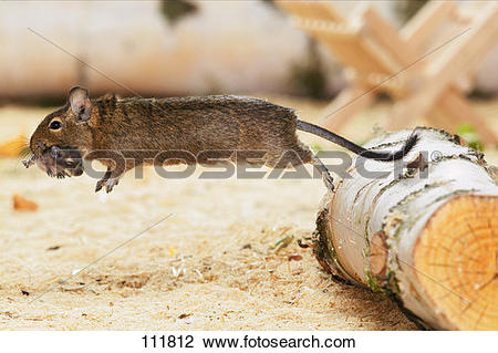 Stock Photo of gnawer, degu, cub 111812.