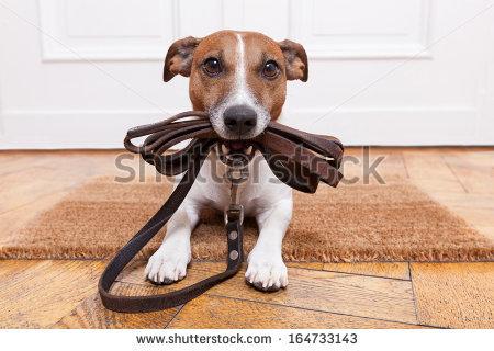 Dog Leather Leash Waiting Go Walkies Stock Photo 164733143.
