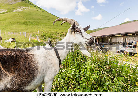 Stock Photography of Portrait of curious goat, Tyrol, Austria.