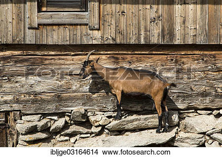 "Stock Photo of ""Goat beside a wooden house, Tyrol, Austria, Europe."