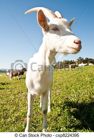 Stock Images of White Goat on the Meadow in austria csp8224395.