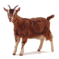 Download Goat Free PNG photo images and clipart.