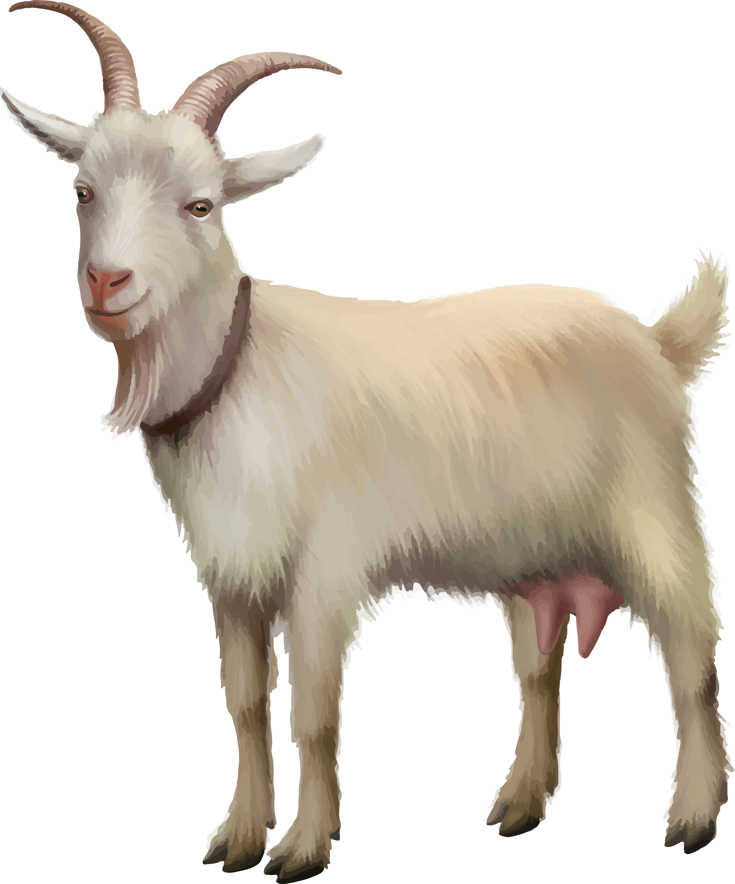 Rove goat Sheep Stock photography Stock illustration.