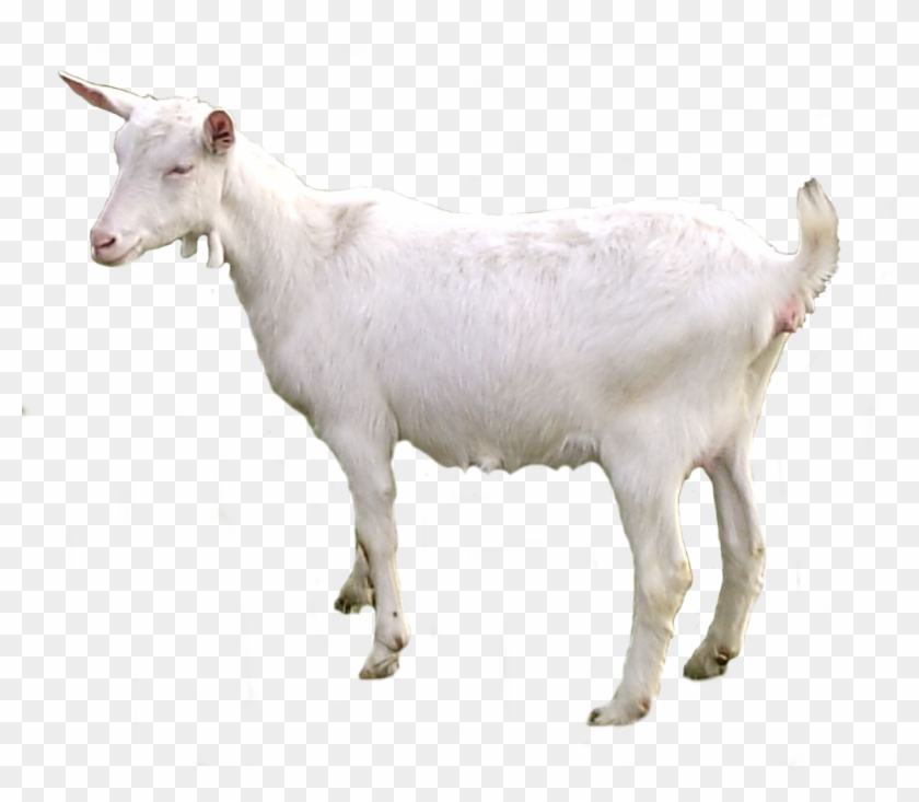 Goat Png.