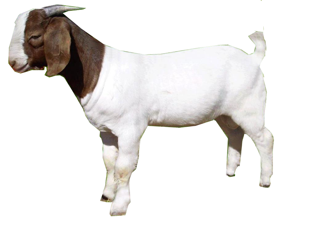 Download Goat PNG.