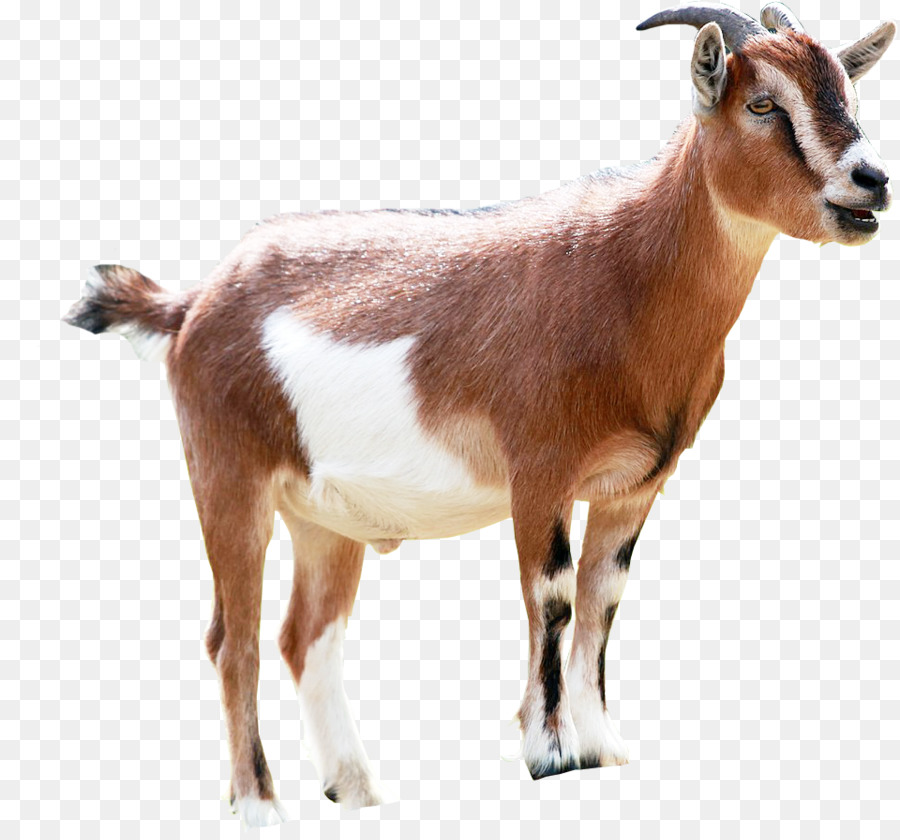 Goats Png & Free Goats.png Transparent Images #20598.