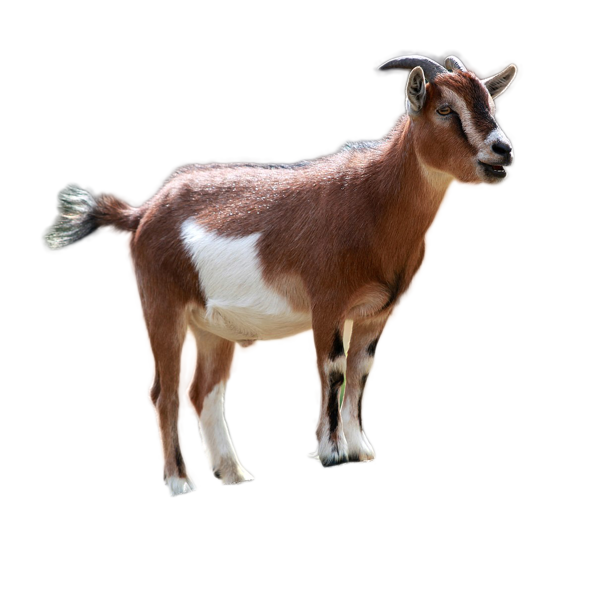 goat png image 3.