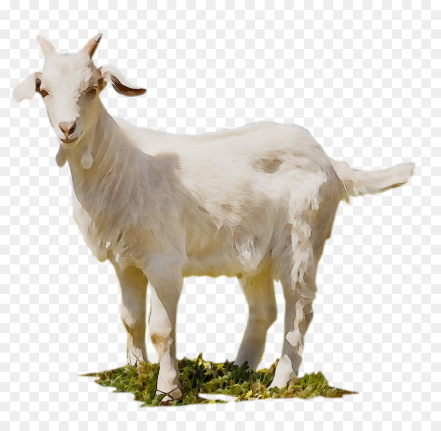Goat Cartoon png download.