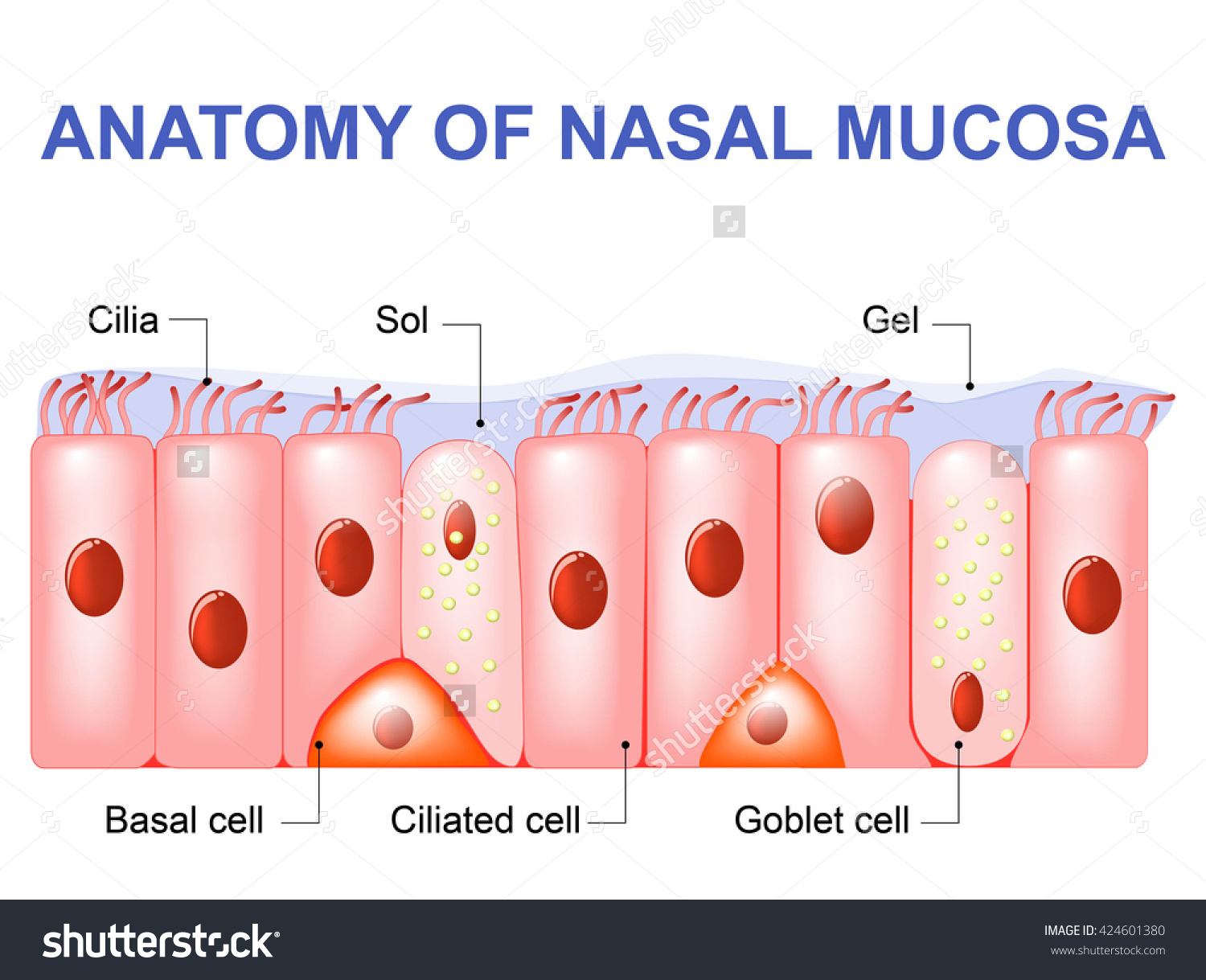 Nasal Mucosa Cells Ciliated Basal Goblet Stock Vector 424601380.