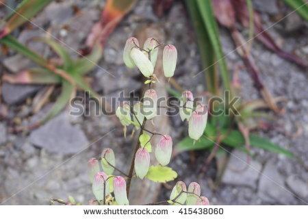 Bryophyllum Stock Photos, Royalty.