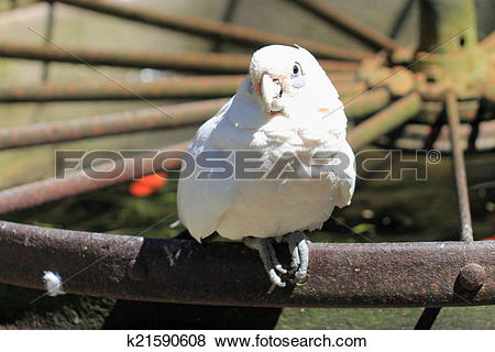 Pictures of Goffin Cockatoo k21590608.