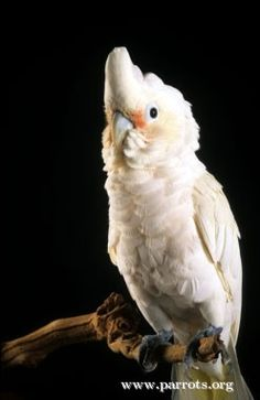 Goffin cockatoo.