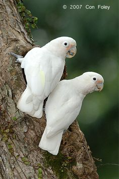 Marshmallow the Goffin's cockatoo..