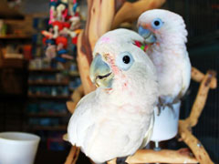 1000+ images about goffin cockatoo on Pinterest.