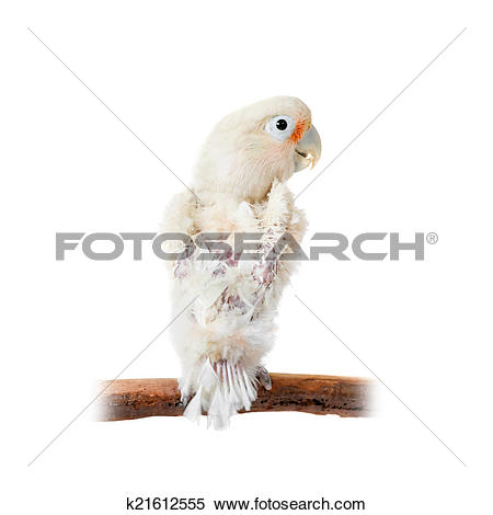 Stock Image of Tanimbar corella or Goffin's cockatoo on white.