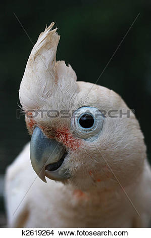 Stock Photo of Head of Goffin Cockatoo k2619264.