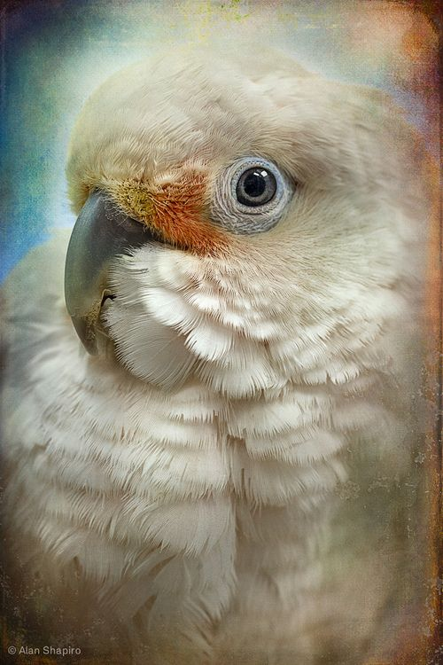 1000+ images about Cockatoo Love! on Pinterest.