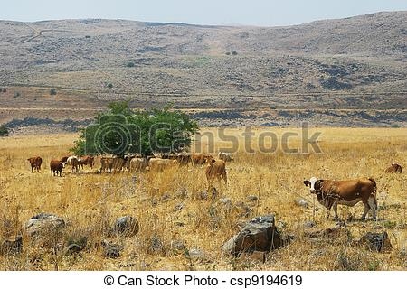 Stock Photographs of Herd of cows on the field. Golan Heights.