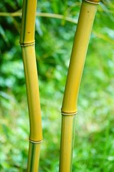 Bamboo, Plants.