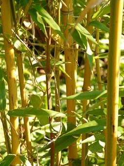 Bamboo, Garden.