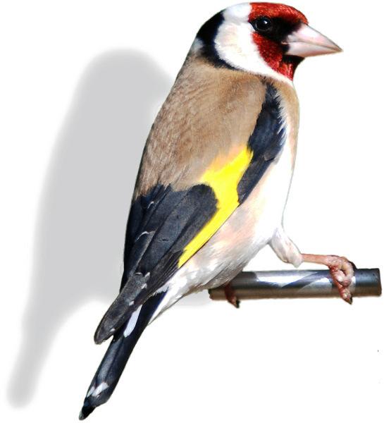 Goldfinch back.