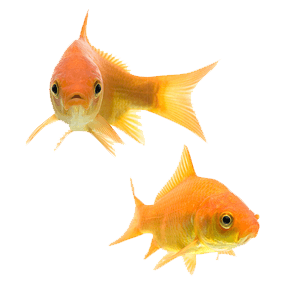 Goldfish Couple transparent PNG.