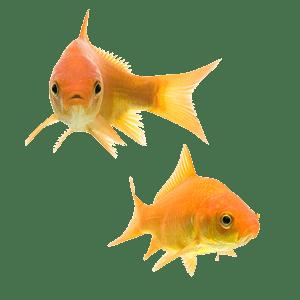 Goldfish Couple transparent PNG.