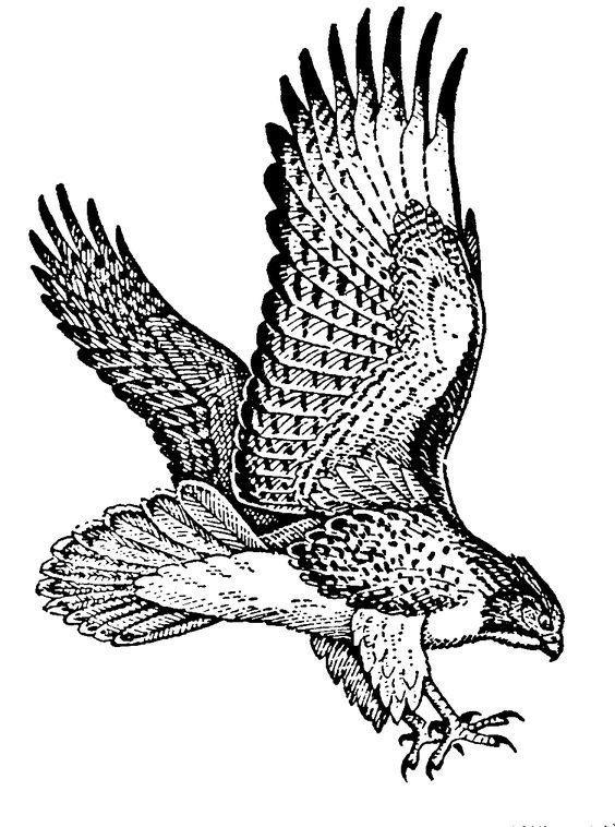 free hawk images.