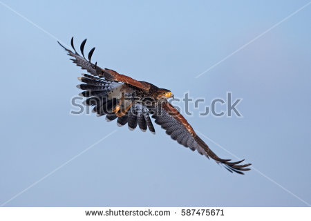 Hawk's Stock Images, Royalty.