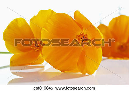 Stock Image of Gold poppy flowers on white background, close up.