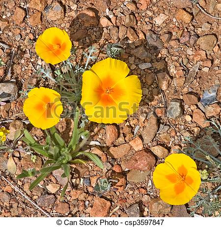 Picture of Mexican Gold Poppy.
