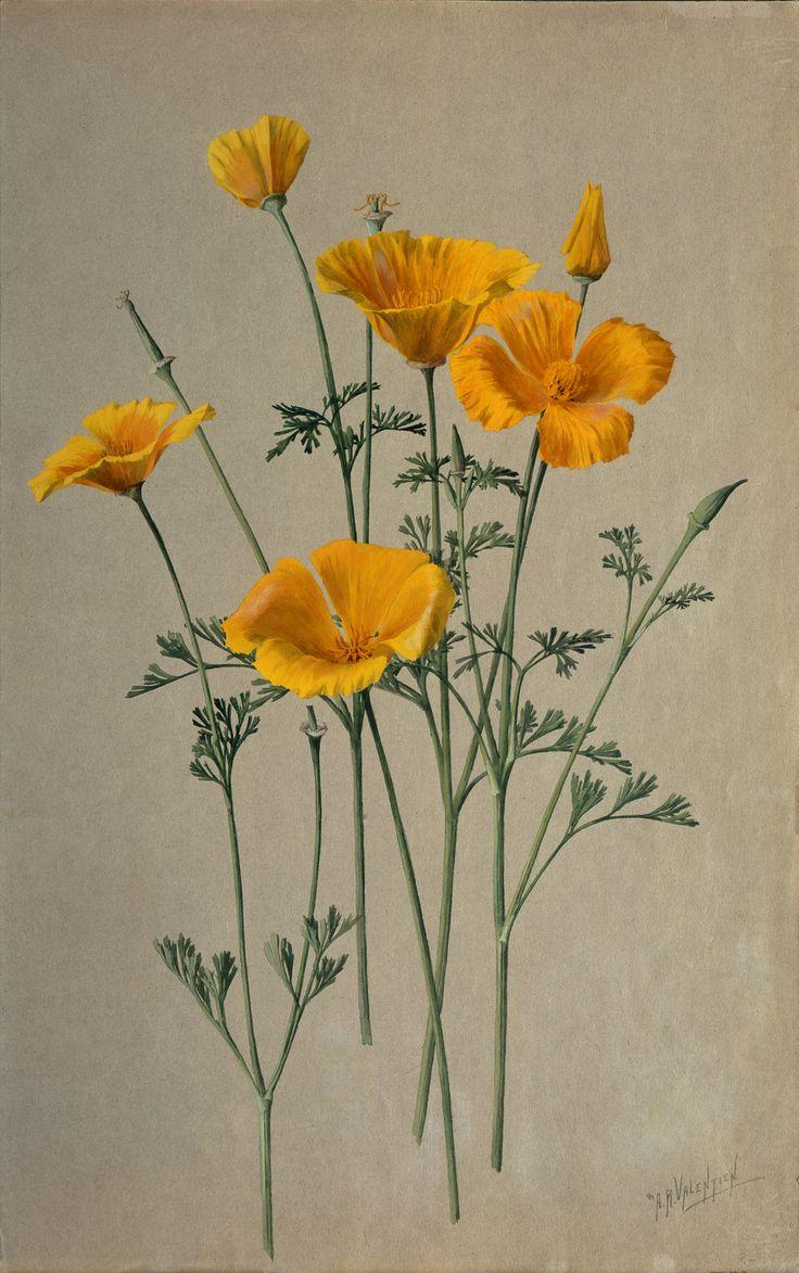 Golden poppy flower drawing.
