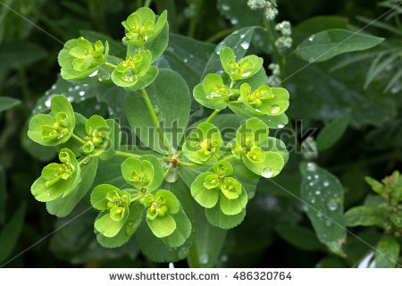 Gold spurge clipart #14