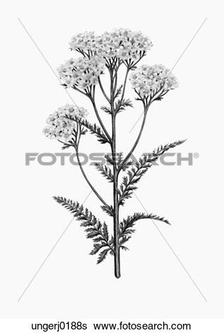 Yarrow Illustrations and Stock Art. 22 yarrow illustration and.