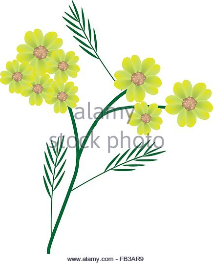 Yellow Yarrow Stock Photos & Yellow Yarrow Stock Images.