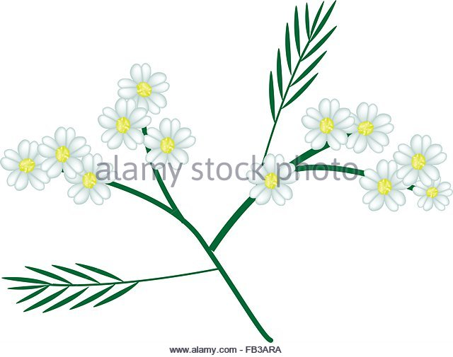 Yarrow Leaves Stock Photos & Yarrow Leaves Stock Images.