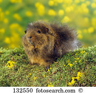 Agouti Stock Photo Images. 158 agouti royalty free images and.