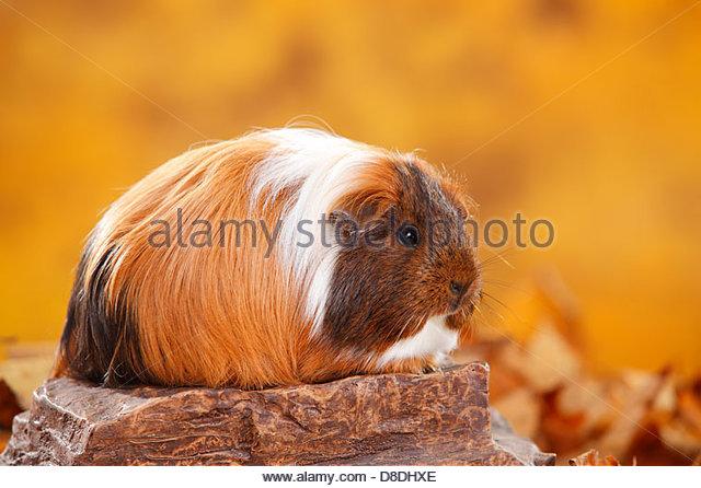 Sheltie Guinea Pig Red White Sheltie Meerschweinchen Stock Photos.