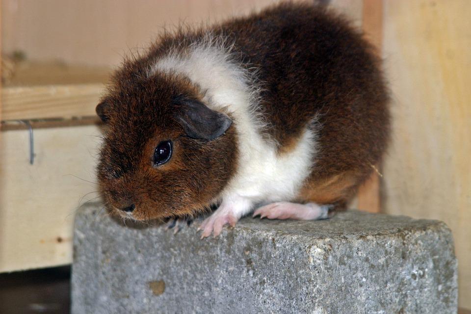 Free photo: Guinea Pig, Rex Guinea Pig.
