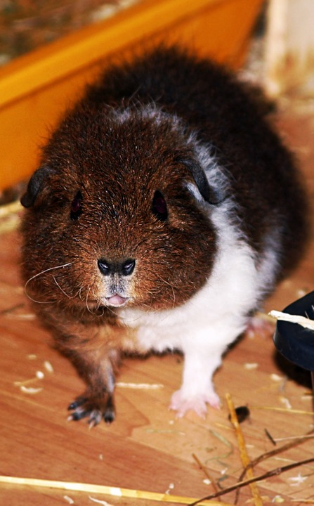 Free photo: Rex Guinea Pig, Pet, Young, Fluffy.