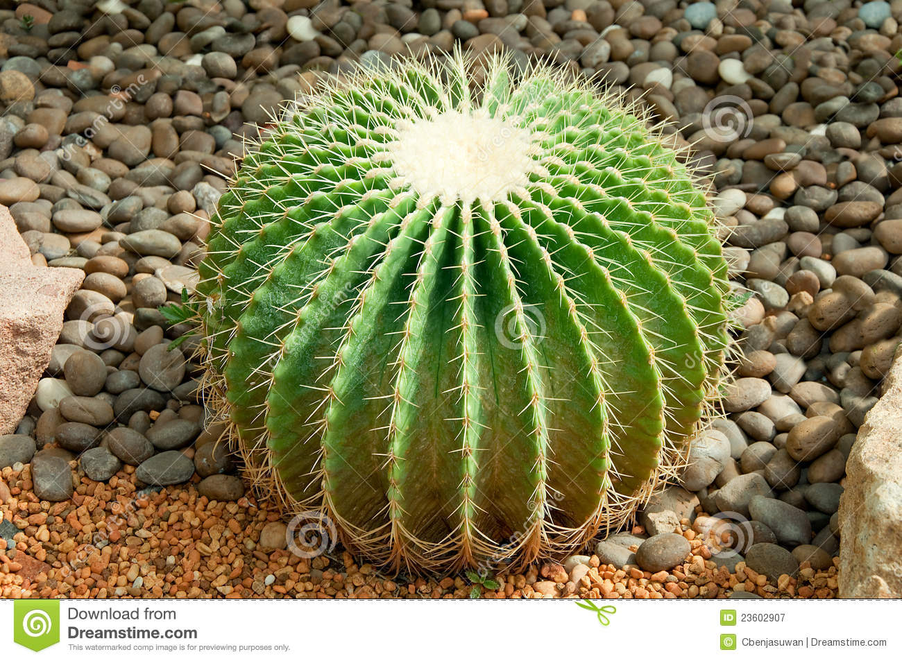 Golden Ball Cactus Stock Photos, Images, & Pictures.