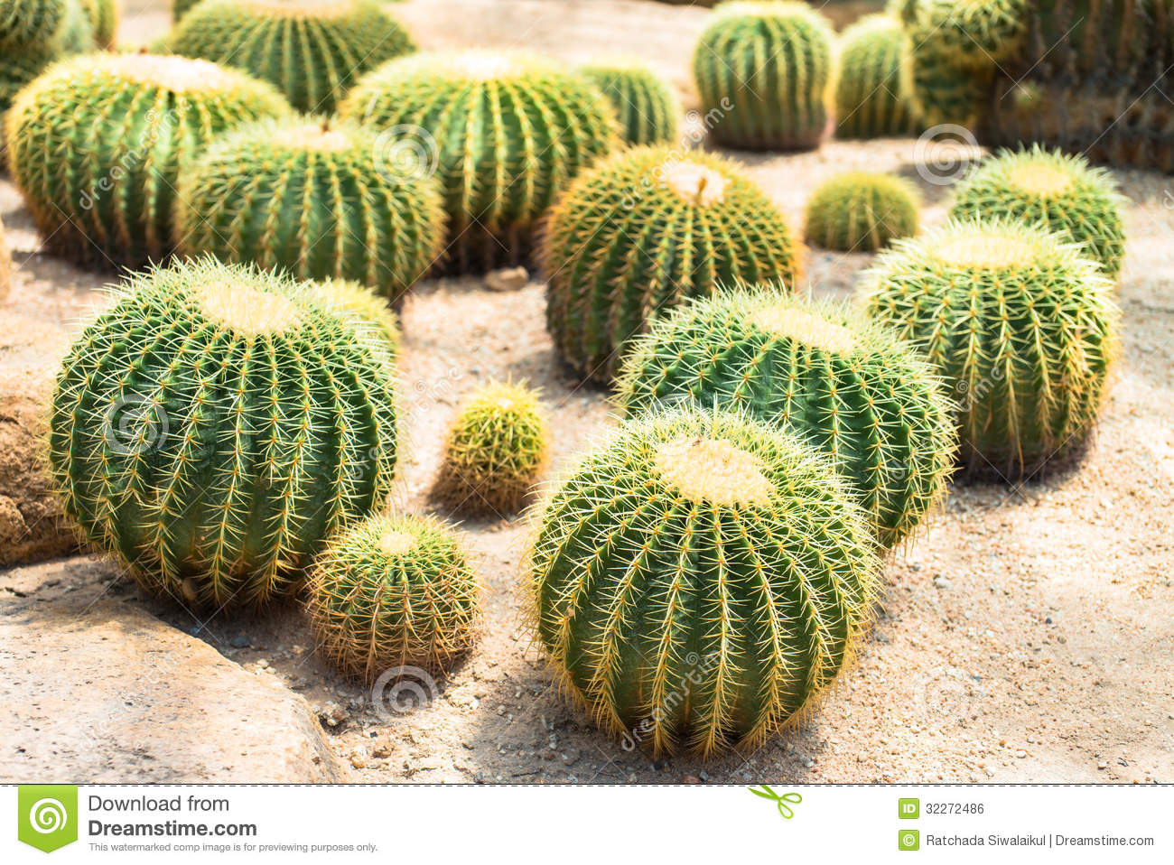 Golden Ball Cactus Royalty Free Stock Image.