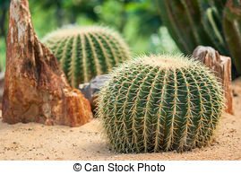 Stock Image of golden ball cactus in plant nursery.